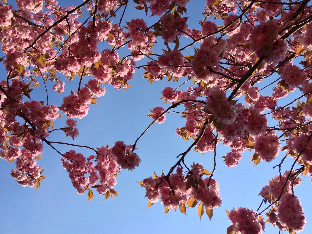 Mehr Kirschblüten